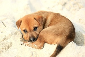 This puppy will murder your entire family while you sleep. (Image Credit: wikipedia.org)