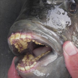 Fish with Human Teeth Found in Germany