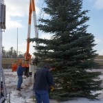Check out the HUGE blue spruce at the tree lighting tomorrow!