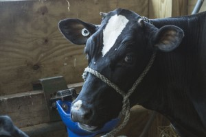 One of the cows up for auction at the Marquette County Fair sold by Shelby Talsma in 2015