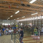 Pigs for sale at the Marquette County fair 2015!