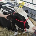 The large dairy cow from Devooght Farms